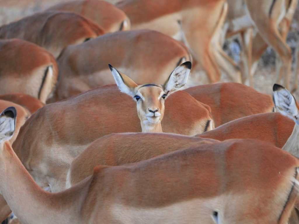 an impala standing out