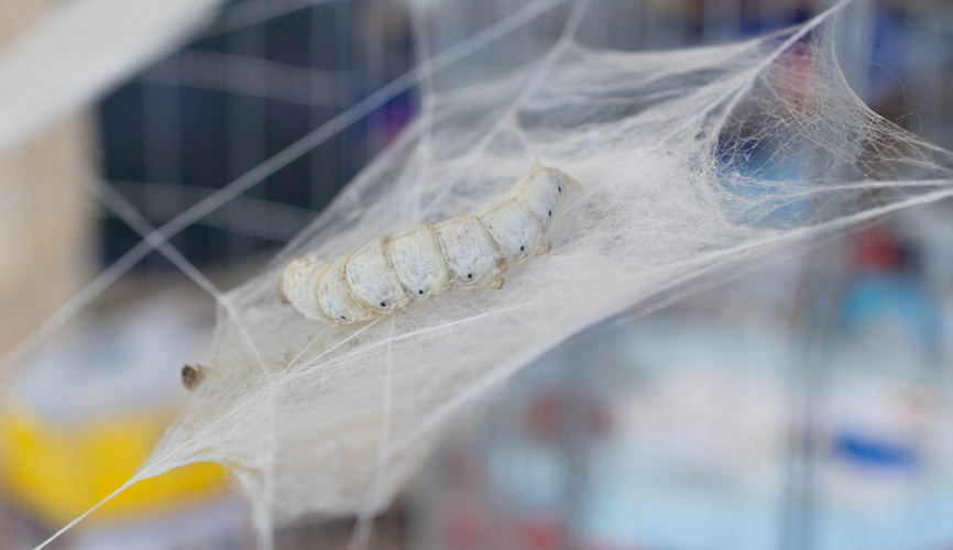 silk worm in silk web