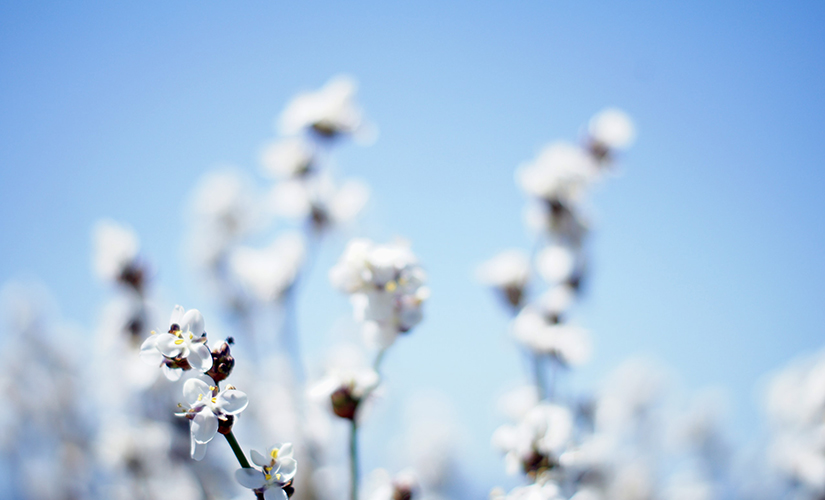 cotton flowers in a field